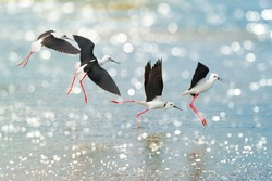 Black-winged Stilt  (Himantopus himantopus) together flying, inflight, mid-flight and landing on sea water with bokeh background, Thailand.  Long-legged water birds  flying together over  the sea.