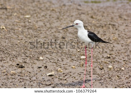 Black winged Stilt is bird in a sea coast