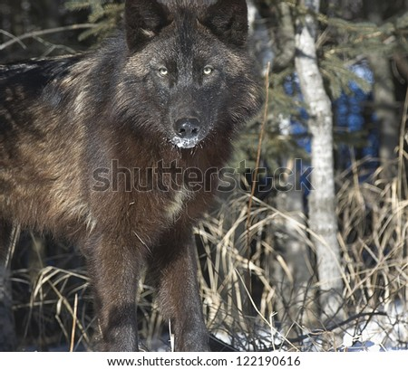 Black wolf staring from forest edge
