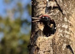 Black woodpecker (Dryocopus martius) Throws splinters from a new hollow. Moscow region. Russia.