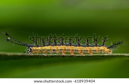 Black, yellow and orange caterpillar, on a green leaf, macro closeup #618939404