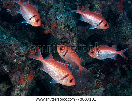 Blackbar Soldierfish hovering in front of a coral reef.