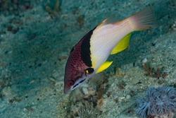 Blackbelt Hogfish Bodianus mesothorax Philippines