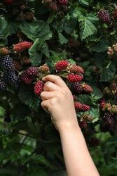 Blackberries Fruit Harvest Plant Hand Picking