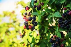 Blackberries grow in the garden. Ripe and unripe blackberries on a bush. food