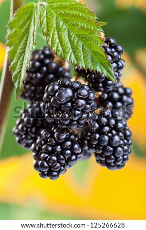 Blackberries ripening on the shrub - closeup in bright light