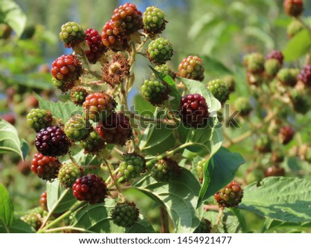 Blackberries (Rubus fruticosus) slowly ripening at midsummer: some eaten, some red, some still green, with blurry green background, close up on a sunny summer day