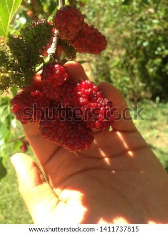 Blackberries, Varre-sai RJ - Brazil Stock fotó ©