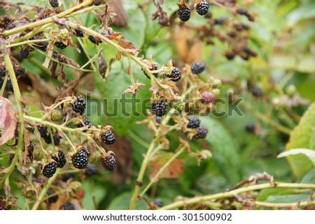 Blackberry branch bush in summer home garden