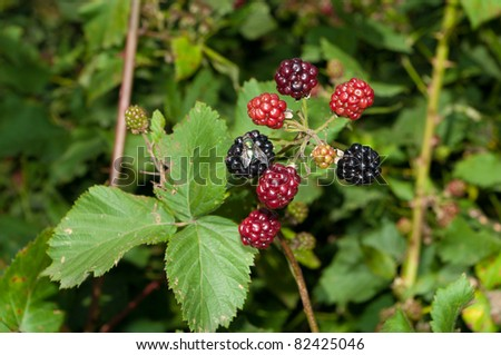 blackberry bush with ripe and unripe berries and also a fly eating from one