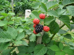 Blackberry grows in the garden. Ripe and unripe blackberry on a background of berry bush. Natural pharmacy. Organic food. Pantry vitamins