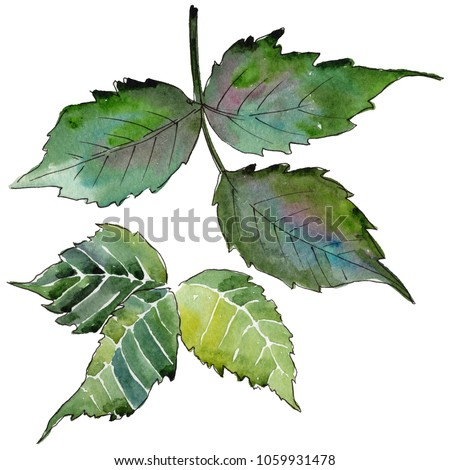 Blackberry leaves in a watercolor style isolated. Aquarelle leaf for background, texture, wrapper pattern, frame or border.