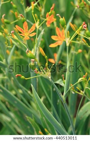 Blackberry Lily flower in garden (belamcada plant)