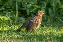 Blackbird baby hungry for food tweeting on the grass in the spring time