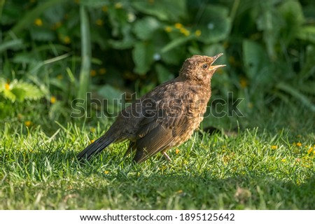 Photo of  Blackbird baby hungry for food tweeting on the grass in the spring time