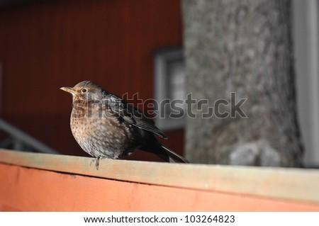 Blackbird female (Turdus merula) Portret - stock photo