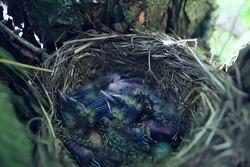 blackbird nest with little chicks, nature spring forest
