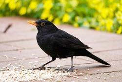 Blackbird on the terrace in the garden in close-up. Bird with black plumage and orange beak. Turdus merula.