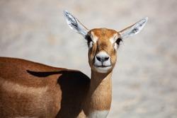 Blackbuck and indian antelope. Mammal and mammals. Land world and fauna. Wildlife and zoology. Nature and animal photography.