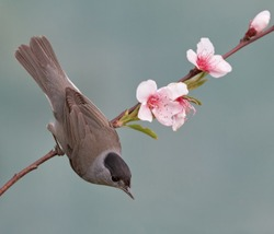 Blackcap, Sylvia atricapilla on a branch with flowers. Shallow depth of field and bakground blurred