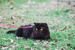 Blackcat in the grass