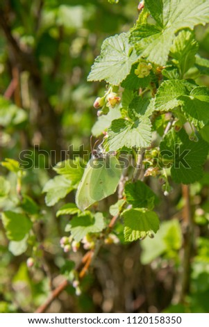Blackcurrant (Ribes nigrum) growing in a field #1120158350