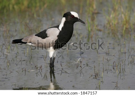 Blacksmith plover, bird