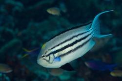 Blackstriped angelfish, Genicanthus lamarck, Raja Ampat Indonesia