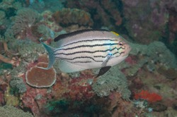 Blackstriped angelfish or Lamarck's angelfish (Genicanthus lamarck) Mindoro, Philippines