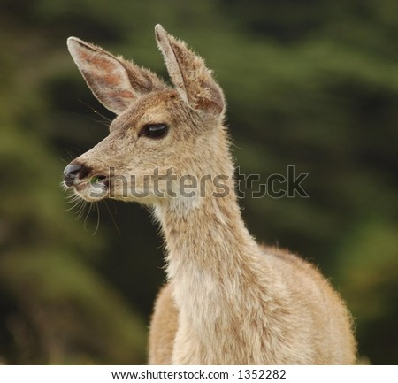 Blacktail Deer Close-up