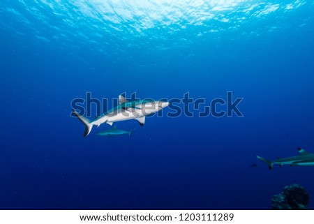 Blacktail reef shark, Carcharhinus amblyrhynchos  (Bleeker, 1856), swimming near surface. Federated State of Micronesia