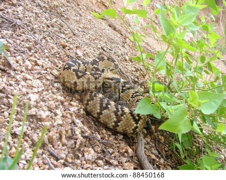 Blacktailed Rattlesnake, Crotalus molossus, hiding in vegetation and coiled in defensive posture