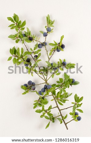 Blackthorn botanical board #1286016319