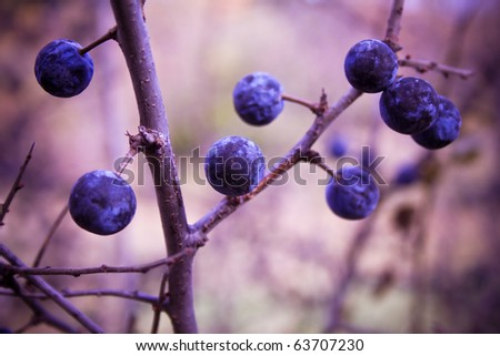 blackthorn bush with berries - stock photo