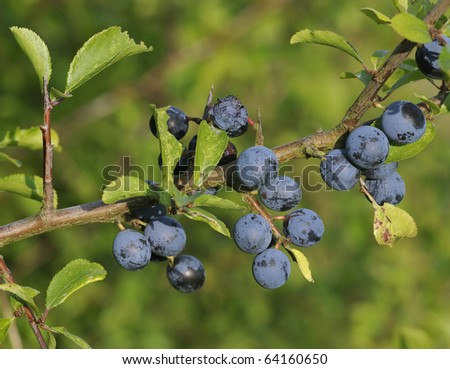 Blackthorn Fruit - Prunus spinosa