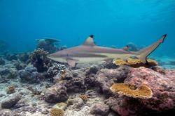 Blacktip Reef Shark (Carcharhinus melanopterus) swimming over tropical coral reef. Seychelles