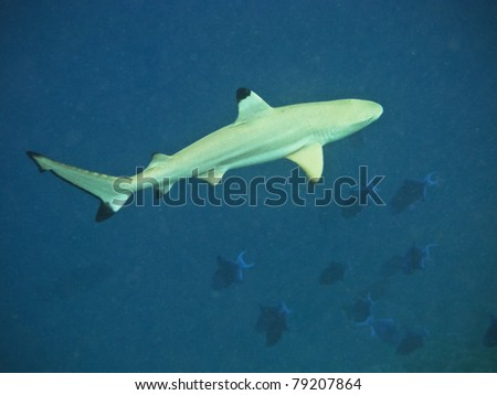 Blacktip reef shark in deep water
