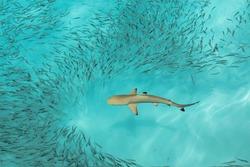 Blacktip Reef Shark in the Maldives