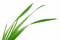 blade of grass on white background