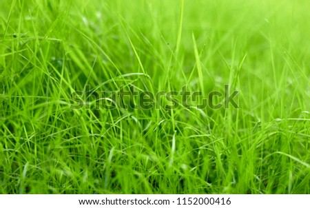 Blades of green grass on the lawn, detail, close-up, blurred background #1152000416