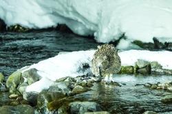 Blakiston's fish owl, bird hunting in fish in cold water creek,  unique natural beauty of Hokkaido, Japan, birding adventure in Asia, big fishing bird in winter scene, wildlife, endangered species