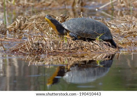 Blanding\'s Turtle sunning at the edge of the water.