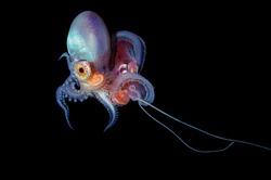 Blanket Octopus Blackwater Diving Underwater Photo
