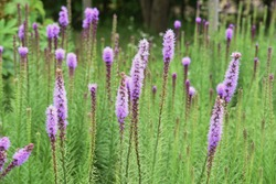 Blazing star (Liatris spicata) is an Asteraceae perennial plant, and spikes bloom in early summer.