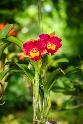 BLC. Rungnapa Fancy No. 1 Cattleya flower. The hybrid orchid is a cross between BLC. Yen Twentyfour Carat x LC. Mari's Song.