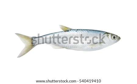 Bleak freshwater fish isolated on white background