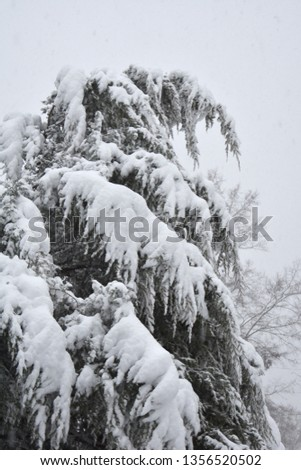 Bleak scene with a spruce tree bending over heavy with snow. A bleak monochromatic scene.
