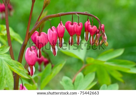 Bleeding Heart flower (Dicentra spectabilis)
