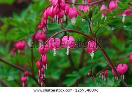 Bleeding heart flowers (Dicentra spectabils)
