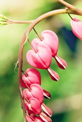 Bleeding Heart Revival. Heart shaped pink and white flowers of dicentra spectabilis bleeding heart.